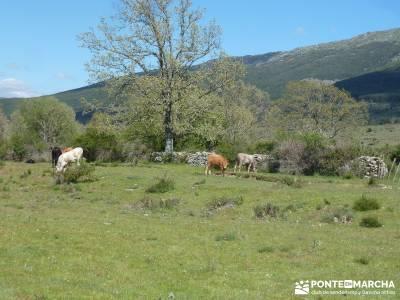 El pinar del Puerto de Navafría;excursiones desde madrid;cerezos en flor valle del jerte